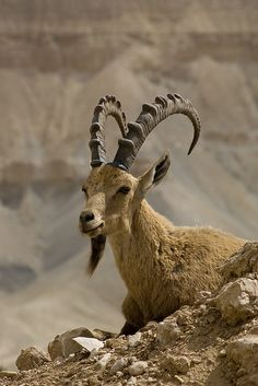 Ibex . Negev . Israel