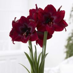 Amaryllis Red Pearl is richer and darker in red color than any other amaryllis. Biggest bulb provides the best blooming power.