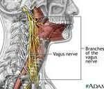 Neurology of the Swallow