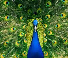 peacock - Google Search