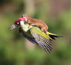 This Incredible Photo Of A Baby Weasel Riding A Woodpecker Is Straight Out Of A Children's Fantasy Book.