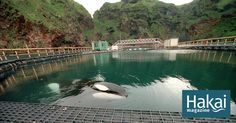 The Whale Sanctuary Project wants to build an ocean home for captive killer whales.