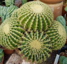 Echinocactus grusonii intermedius.