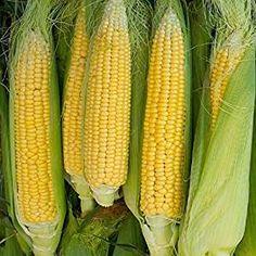 45 Seeds SWEET CORN SUPER SWEET VARIETY Popular Heirloom BULK Golden Bantam