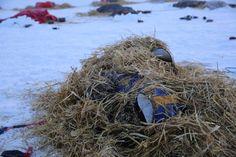Dog on Hugh Neff's team sleeping under warming cover of straw.