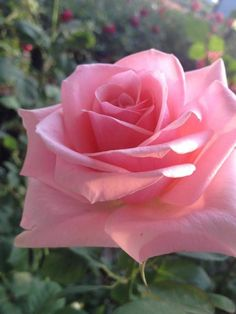 Pretty Roses, Beautiful Roses, My Flower, Flower Power, Twinkle Star, Love Rose, Everything Pink, Cut Flowers, Rose Buds