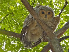 Spotted-wood Owl, Juvenile, by kmsim | Flickr
