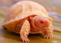 Sulcata tortoise for sale online, baby sulcata tortoises for sale online, where to buy african spur thigh tortoise for sale, a Sulcata tortoise breeder. Sulcata Tortoise For Sale, Baby Tortoise For Sale, Albino African, Different Types Of Turtles, Tortoise Enclosure, Tortoise Habitat, Tortoise Table, Tattoo Project