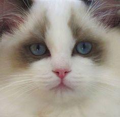 "Seal Bicolor kitten, ""Sunbear""."