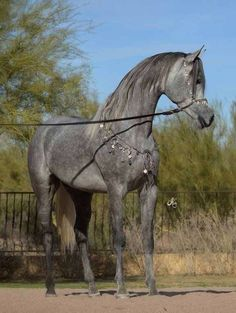 Thee Jesidi James Arabian horse-Love dappled greys :D ...