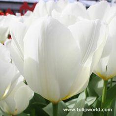 Image Purissima Tulip   ( Fosteriana)  .48 ea