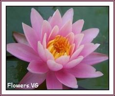 free waterlily flower pictures