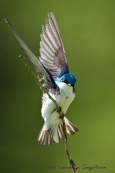 Tree Swallow by ~ Michaela Sagatova ~, via Flickr