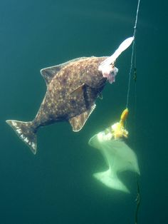 Halibut - Saferbrowser Yahoo Image Search Results