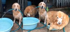 Below are videos of smart dogs filling up kiddie pools for their own enjoyment. These are smart dogs that know how to get the job done and then have a good time.