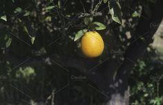 Oranges on a branch Photos Oranges on a branch. Orange trees in plantation by Deyan Georgiev