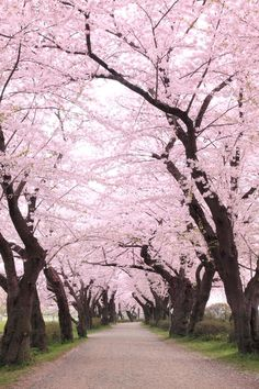 Sakura from Sophie