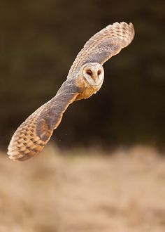 Barn Owl by Adamec
