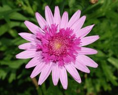 A Marguerite - Argyranthemum frutescens 'Bridesmaid' DateFebruary SourceOwn work AuthorAlvesgaspar Types Of Flowers, Yellow Flowers, Colorful Flowers, Beautiful Flowers, Chrysanthemum Meaning, Aster Flower, Flower Close Up, White Anemone, British Flowers
