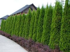 Thuja Emerald The Perfect Fast-Growing Privacy Hedge Compact grower to tall Thuja Emerald thrives in full sun to part shade Easily adapts to sandy or heavy clay soils Plant in groups of or 24 for best results Plant apart for fast hedge Jumbo 22 Privacy Trees, Privacy Plants, Privacy Landscaping, Backyard Privacy, Garden Landscaping, Landscaping Ideas, Back Yard Privacy Ideas, Privacy Walls, Fast Growing Hedge Plants