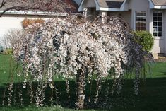 How to Grow the Dwarf Weeping Cherry Tree - Tree Pruning Dwarf Weeping Trees, Dwarf Flowering Trees, Weeping Willow, Willow Tree, Trees And Shrubs, Trees To Plant, Small Weeping Trees, Dogwood Trees, Dwarf Cherry Tree