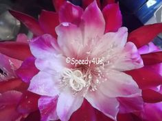 Clown Epiphyllum Orchid Cactus Cutting by Speedy4Us on Etsy, $10.99
