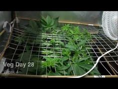 SCROG Grow Part#1 125w Cfl+250w HPS Pineapple Chunk, Bubblelicous, Berry Bomb Vegetation Low Budget - YouTube