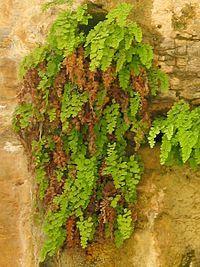 Capelvenere03(Parco dei Nebrodi) - Adiantum capillus-veneris - Wikipedia, the free encyclopedia