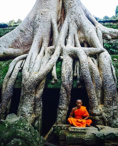 Monk meditates under a tree in the Ta Promh temple of Angkor Wat Complex. - Monk meditates under a tree in the Ta Promh temple of Angkor Wat Complex. Angkor Wat, Weird Trees, Cambodia Travel, Unique Trees, Old Trees, Buddhist Monk, Tree Trunks, Nature Tree, Tibet