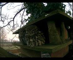 Steenuiltjes zitten voor hun nestkast. Binnenkort het eerste eitje.