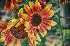 Sunflowers by Louise Hill