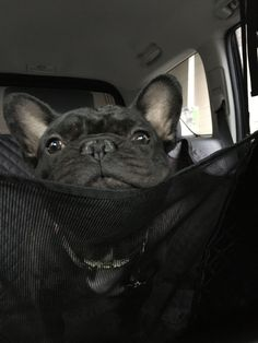 French Bulldog, To Go, Animals, Animales, Animaux, French Bulldog Shedding, Bulldog Frances, Animal, Animais