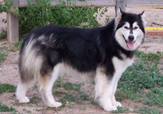 Mythic Alaskan Malamutes, Colorado breeder of exceptional quality Alaskan Malamute puppies