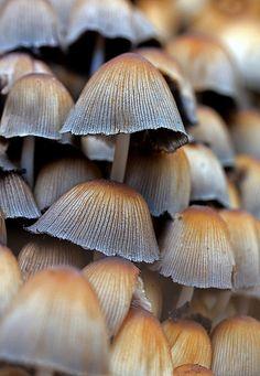 ˚Common Inkcap (Coprinopsis atramentaria)