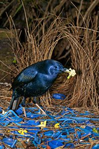 Male satin bowerbird native to Australia and New Guinea. Male bowerbirds weave intricate display areas (or bowers) out of twigs. They decorate their bowers with charcoal, saliva and colourful objects. A bower is not a nest. It is an attractive 'avenue', used by male bowerbirds to entice a female. (Photo Credit: Michael Snedic)