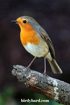 European Robin is a beautiful bird that everyone loves It looks so cute Pretty Birds, Beautiful Birds, Poppy Field Painting, European Robin, Robin Bird, Nature Tattoos, Bird Watching, Bird Art, Watercolor Flowers