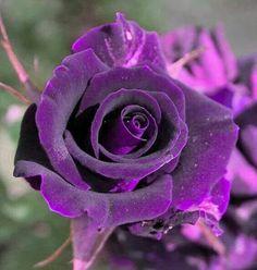 Rosa terciopelo lila