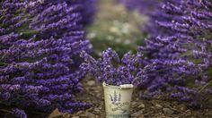 Скачать обои цветы, лаванды, природа, раздел цветы в разрешении 1366x768