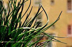 SCHÖNEN GRÜNDONNERSTAG! Und denkt daran, heute etwas frisches Grünes für gute Gesundheit zu essen.  ;) | Image: Chives/ Schnittlauch © Stefanie Neumann - All Rights Reserved.