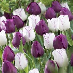 Combinaison de Tulipes violet et blanc