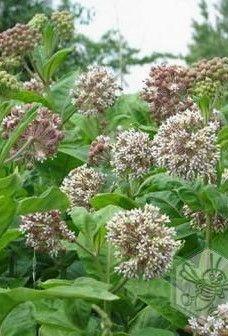 Selyemfű méz hatásai – égési sérülések kezelésére, vérnyomáscsökkentésre Plants, Plant, Planets