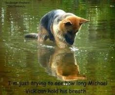 I love German Shepherds & all dogs .Michael Vick is a piece of shit.my ass he did his time. All Dogs, I Love Dogs, Best Dogs, Dogs And Puppies, Doggies, Mike Vick, Michael Vick, Schaefer, German Shepherd Dogs