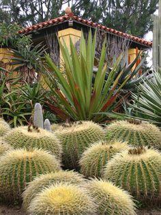 Golden barrel cactus and a furcraea. Design by Patrick Anderson.