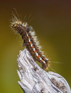 Knot Grass Moth Caterpillar by There and back again