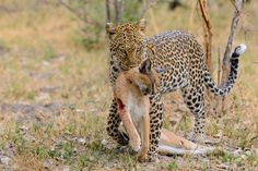 Leopard with caracal