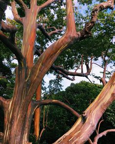 rainbow eucalyptus trees on the road to Hana. Mother Nature is so beautiful!