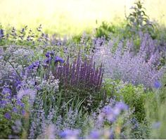 Blue and purple border with salvia, symphutum and geranium