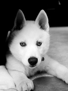 That face! amazing husky dog, pretty.