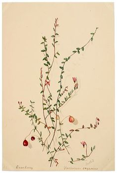 Cranberry Vaccinium oxycoccus | The Natural History Society of Northumbria
