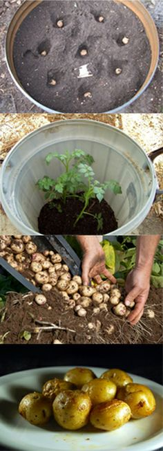 Grow Potatoes in a Barrel